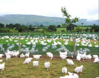 Assured Chicken Production Scheme